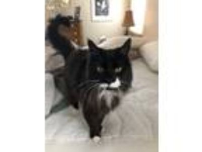 Adopt Bella a Black & White or Tuxedo Maine Coon cat in Arvada, CO (24691696)