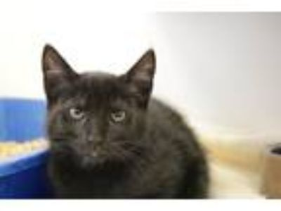 Adopt POPPYSEED a Domestic Shorthair / Mixed (short coat) cat in Redwood City