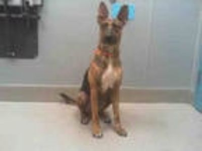 Adopt SASSY a Brindle German Shepherd Dog / Boxer / Mixed dog in Las Vegas