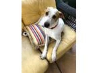 Adopt Birdie a White - with Tan, Yellow or Fawn Pointer / Mixed dog in Monroe