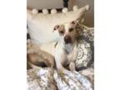 Adopt Reno a White - with Tan, Yellow or Fawn Pit Bull Terrier / Labrador