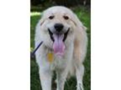 Adopt Tulip a White - with Tan, Yellow or Fawn Great Pyrenees / Anatolian