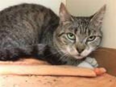 Adopt CANADA a Brown or Chocolate (Mostly) Domestic Shorthair / Mixed (short