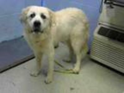 Adopt SWEETIE a Great Pyrenees