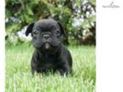 Akc Fendi Adorable French Bulldog Puppy Ready to G