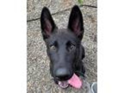 Adopt Deacon (mcas) a German Shepherd Dog / Mixed dog in Troutdale