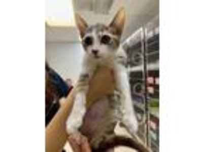 Adopt Jo FeLV+ a Gray or Blue Domestic Shorthair / Domestic Shorthair / Mixed