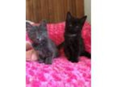 Adopt Chicken + Hawk (Bonded Sisters) a Domestic Long Hair