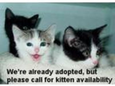 Adopt Kittens a Domestic Short Hair
