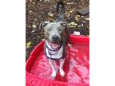 Adopt Homer a Gray/Silver/Salt & Pepper - with White Pit Bull Terrier / Mixed