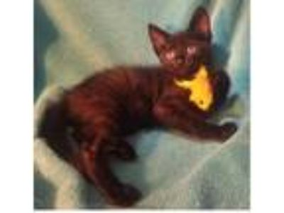 Adopt Choco a All Black Domestic Shorthair (short coat) cat in Delray Beach