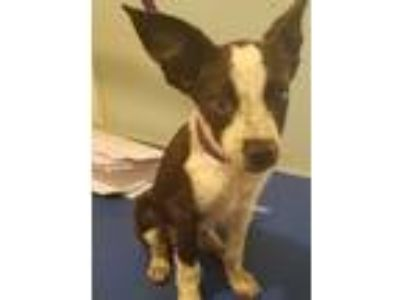 Adopt Freckles a Cattle Dog, Terrier