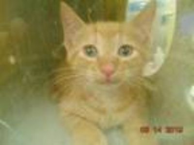 Adopt WOOLY a Domestic Short Hair