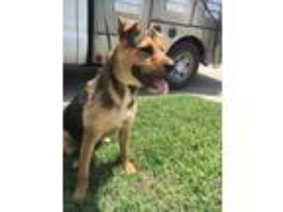 Adopt ADOPTED a Tan/Yellow/Fawn Airedale Terrier / Shepherd (Unknown Type) /