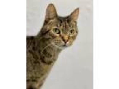 Adopt Diego a Domestic Short Hair