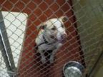 Adopt a Pit Bull Terrier / Mixed dog in Covington, GA (25290533)
