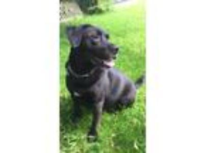 Adopt Buddy a Black Labrador Retriever / Mixed dog in Nantucket, MA (25125916)