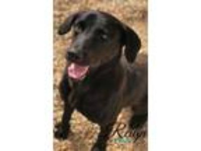 Adopt Reign a Black Labrador Retriever / Mixed dog in Belle Chasse