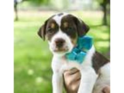 Adopt Beatle a Brown/Chocolate - with White Australian Shepherd / Jack Russell
