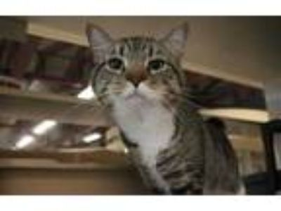 Adopt Tank a Brown or Chocolate Domestic Shorthair / Domestic Shorthair / Mixed