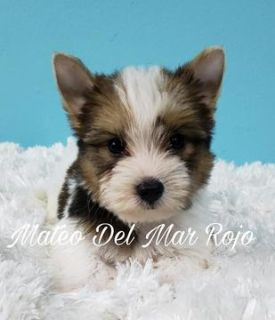 Yorkshire Terrier PUPPY FOR SALE ADN-98855 - Yorkie Sable Parti