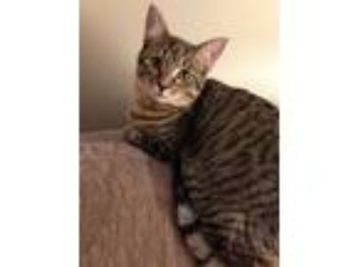 Adopt Wasabi a Domestic Short Hair, Tabby
