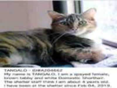 Adopt TANGALO a Domestic Short Hair