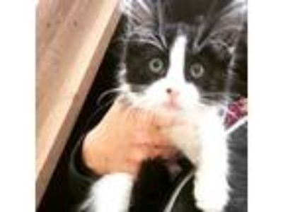Adopt Happy a Black & White or Tuxedo Maine Coon (long coat) cat in Port