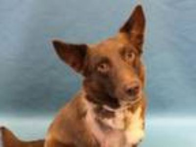 Adopt Sabrina a Border Collie, Mixed Breed