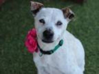 Adopt Molly a Jack Russell Terrier, Cattle Dog