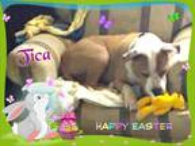 Adopt Tica a Tan/Yellow/Fawn - with White American Pit Bull Terrier / Mixed dog
