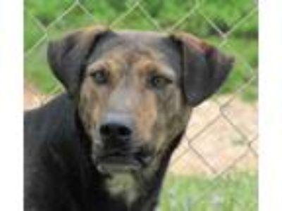 Adopt Paul a German Shepherd Dog, Labrador Retriever