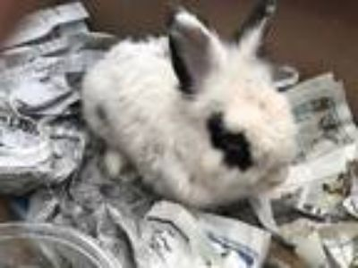 Adopt 41834969 a White Other/Unknown / Other/Unknown / Mixed rabbit in Fort