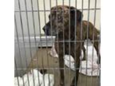 Adopt Charlie a Brindle Hound (Unknown Type) dog in Knoxville, TN (25327997)