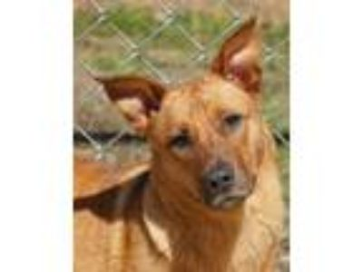 Adopt Foxy a Tan/Yellow/Fawn Corgi / Mixed dog in Toccoa, GA (24669736)