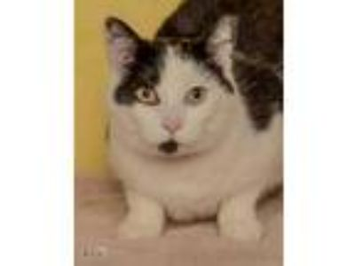 Adopt Taylor a White Domestic Shorthair / Domestic Shorthair / Mixed cat in