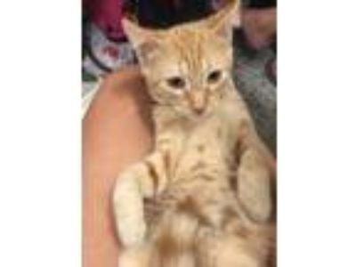 Adopt Koala a Orange or Red Tabby Domestic Shorthair (short coat) cat in Old