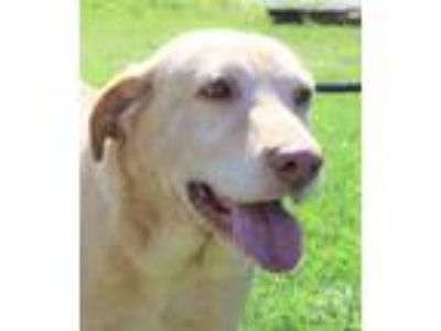 Adopt WILEY a Tan/Yellow/Fawn - with White Labrador Retriever / Pointer / Mixed