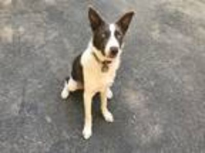 Adopt Ranger a White - with Brown or Chocolate Border Collie dog in Los Gatos
