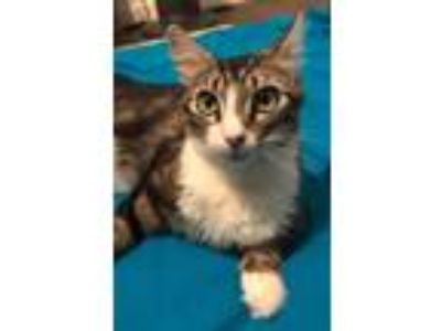 Adopt Jane a Domestic Shorthair / Mixed cat in Oakland, CA (25829174)