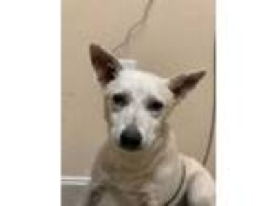 Adopt Lanister a Tan/Yellow/Fawn Australian Cattle Dog / Mixed dog in