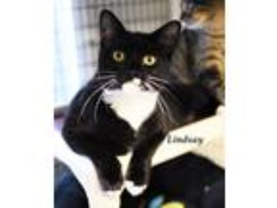 Adopt Lindsay a Domestic Shorthair / Mixed (short coat) cat in Lawrenceville