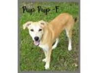 Adopt Pup Pup a Tan/Yellow/Fawn Labrador Retriever / Catahoula Leopard Dog /