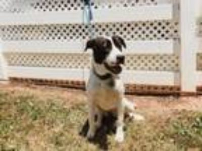 Adopt Melinda a Border Collie, Mixed Breed