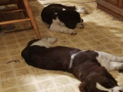 English Springer Spaniel PUPPY FOR SALE ADN-107742 - Two Springer male pups
