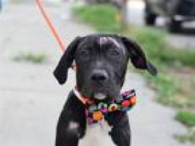 Adopt Casanova a Mixed Breed (Medium) / Mixed dog in Brooklyn, NY (25945090)