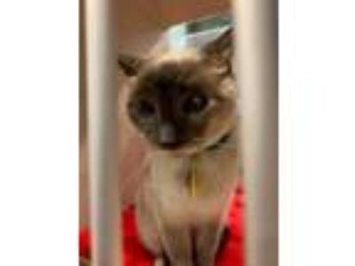 Adopt Butters a Siamese