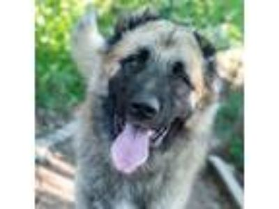 Adopt Apollo a Brown/Chocolate Shepherd (Unknown Type) / Mixed dog in