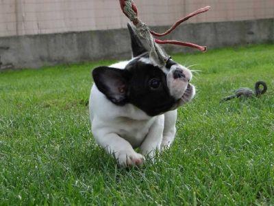 french bull dog