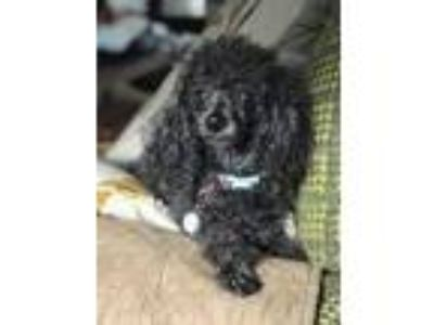 Adopt Chloe a Black Poodle (Toy or Tea Cup) / Mixed dog in St.